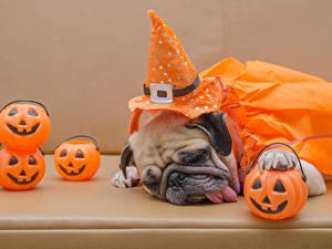 Картинки Собака Тыква Хэллоуин Мопс Шляпы Спящий Языком Цветной фон животное