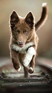 Фотографии Собака Железные дороги Бежит Рельсах Боке животное