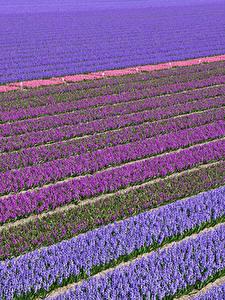 Картинки Нидерланды Поля Гиацинты Много Разноцветные Lisse Цветы