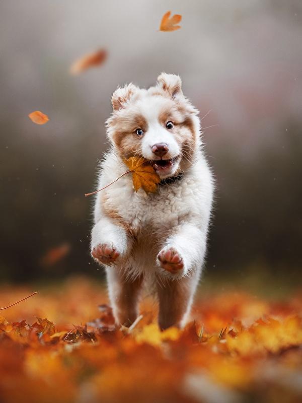 Картинки аусси собака Листва бегущий Размытый фон осенние животное 600x800 для мобильного телефона Австралийская овчарка Собаки лист Листья Бег бежит бегущая боке Осень Животные