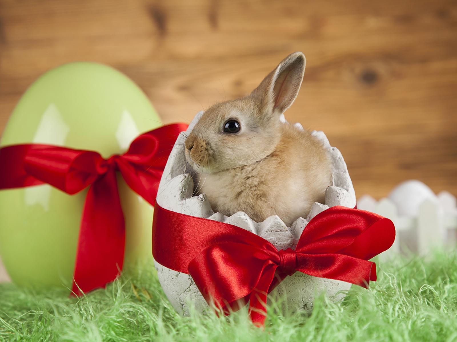 Картинки Пасха Кролики Детеныши Яйца бантики Животные 1600x1200 кролик яиц яйцо яйцами бант Бантик животное