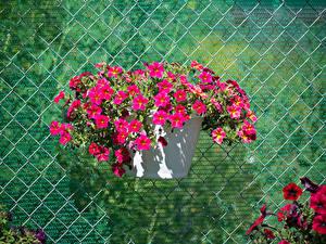 Фотография Калибрахоа Розовый Цветы