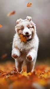 Картинки Собака Осенние Бегущий Аусси Листва Размытый фон Alena Trojanovičová животное