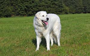 Фотографии Собака Траве Язык (анатомия) Белая Kuvasz