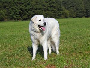 Фотографии Собака Траве Язык (анатомия) Белая Kuvasz Животные