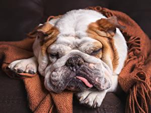 Фото Собаки Шарпей Спят Морды животное