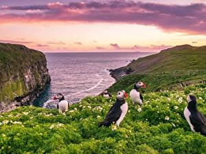Фотография Англия Тупики Птица Море Утес Уэльс Skomer Island Природа
