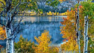 Картинка США Озеро Осень Калифорнии Березы Деревьев June Lake Природа