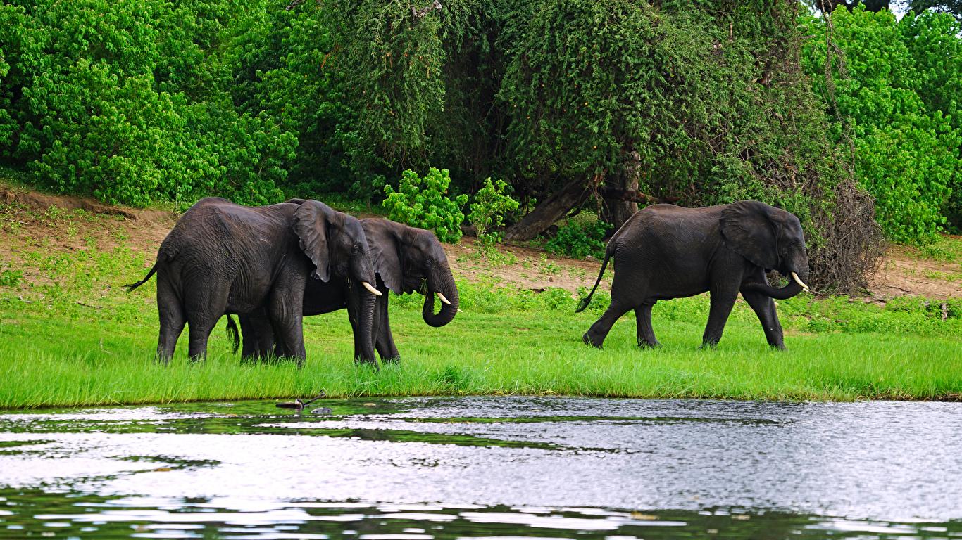 Картинка Слоны Трое 3 берег Животные 1366x768 три втроем Побережье животное
