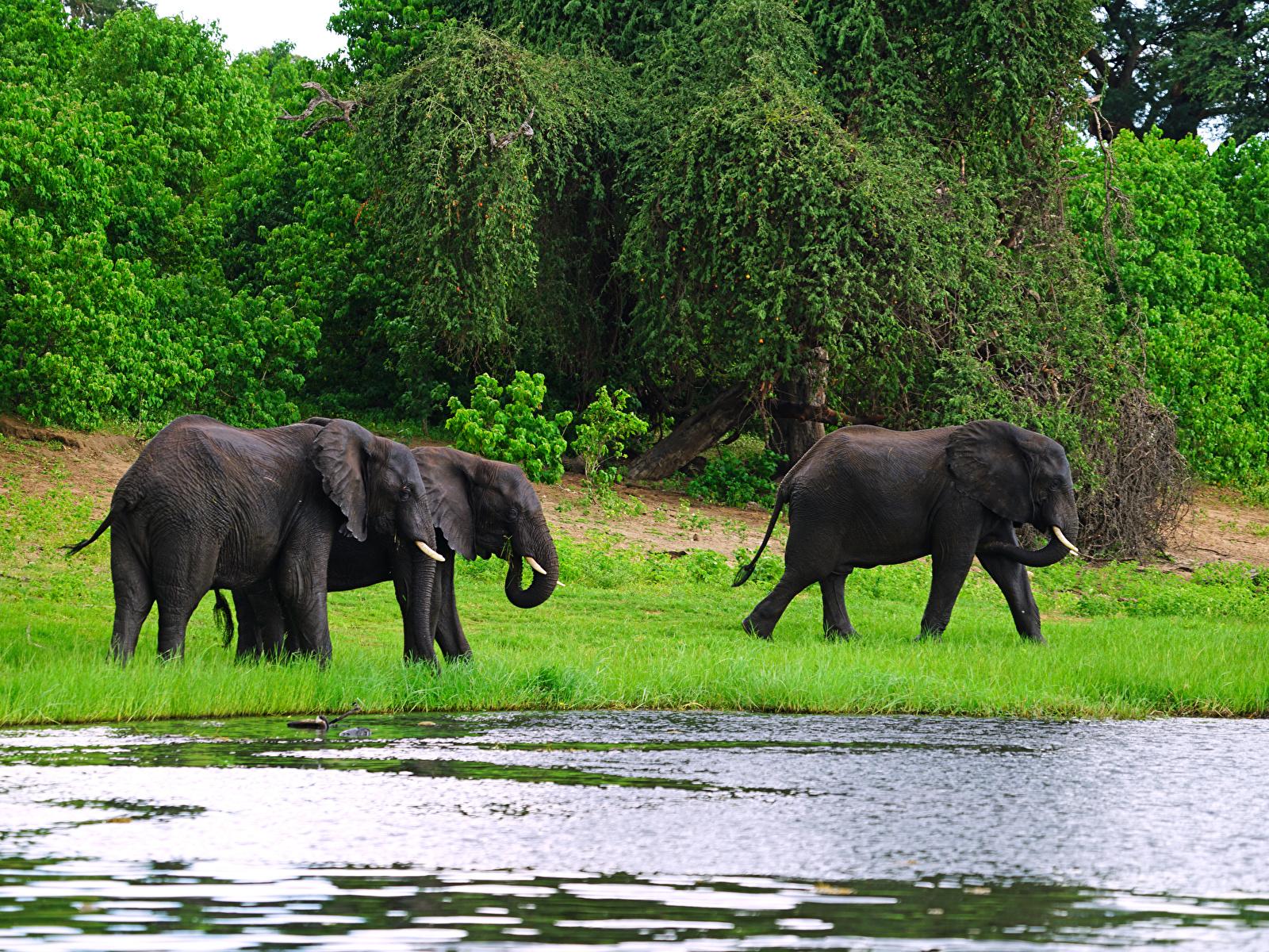 Картинка слон Трое 3 Побережье Животные 1600x1200 Слоны три берег втроем животное