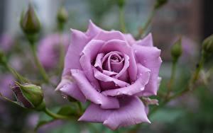 Фото Вблизи Розы Фиолетовый