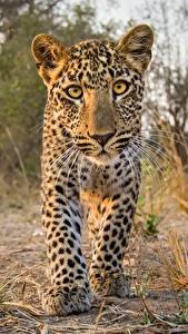 Фотография Леопарды Детеныши Смотрят животное