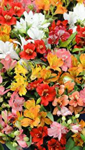 Обои Альстрёмерия Много Крупным планом Цветы