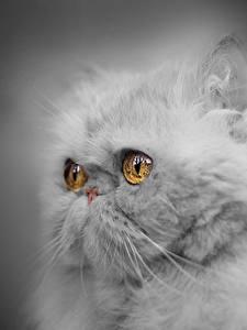 Фото Кошки Крупным планом Персидская кошка Смотрят Пушистая Серая Морды Сером фоне животное