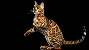 Фото Кот Бенгальская кошка Черный фон Взгляд Gold Животные
