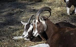 Фотографии Коза козел Голова Вдвоем Рога Животные