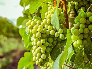 Обои Виноград Крупным планом