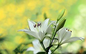 Фотография Лилия Вблизи Бутон Белые цветок