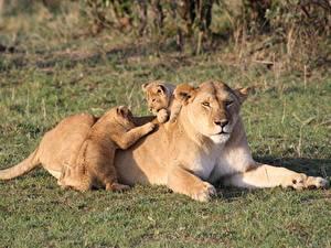 Картинки Лев Детеныши Трава Лежат Трое 3 Лапы Kenya Животные