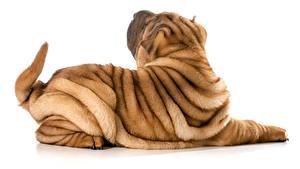 Фото Собака Белым фоном Шарпея Спина животное