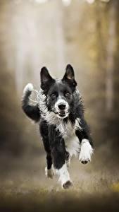 Фотографии Собаки Бег Бордер-колли Животные
