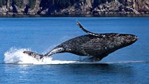 Фотография Киты США Аляска Парки Скале Брызги Прыгать Humpback whale, Kenai Fjords National Park Животные