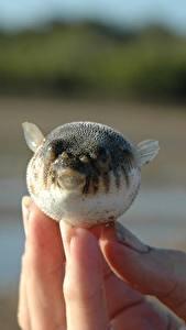 Фотографии Рыбы Пальцы Крупным планом Fugue животное