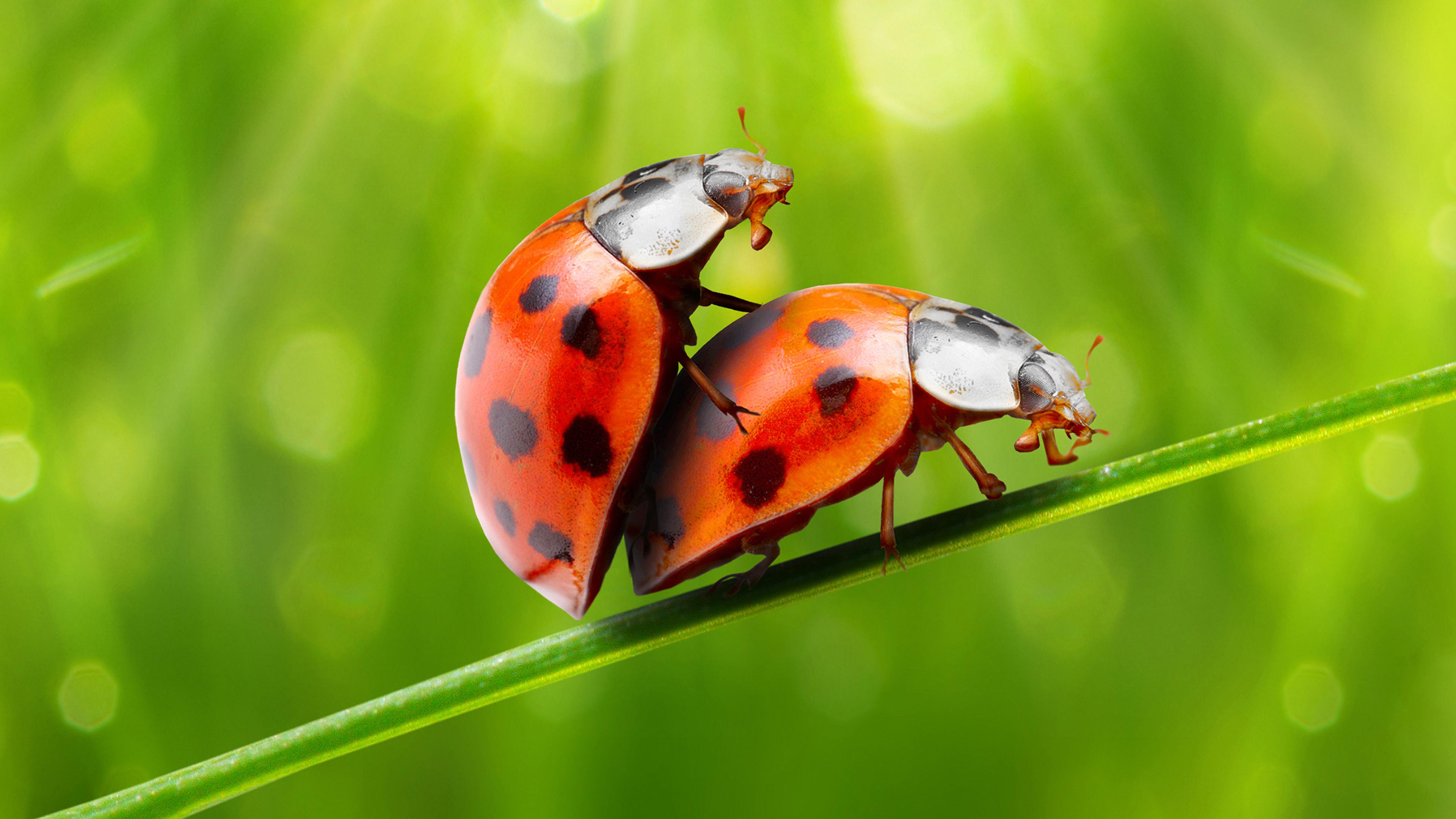 Фотография Божьи коровки насекомое две животное 3840x2160 Насекомые 2 два Двое вдвоем Животные