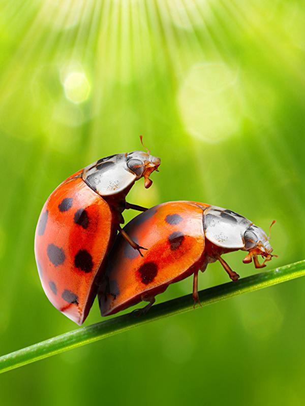 Фотография Божьи коровки насекомое две животное 600x800 для мобильного телефона Насекомые 2 два Двое вдвоем Животные