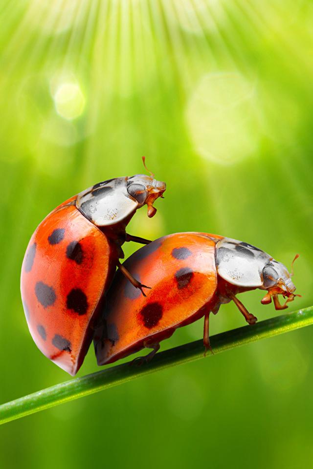 Фотография Божьи коровки насекомое две животное 640x960 для мобильного телефона Насекомые 2 два Двое вдвоем Животные