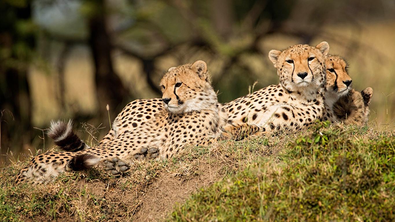 Фотографии Леопарды втроем животное 1366x768 леопард три Трое 3 Животные