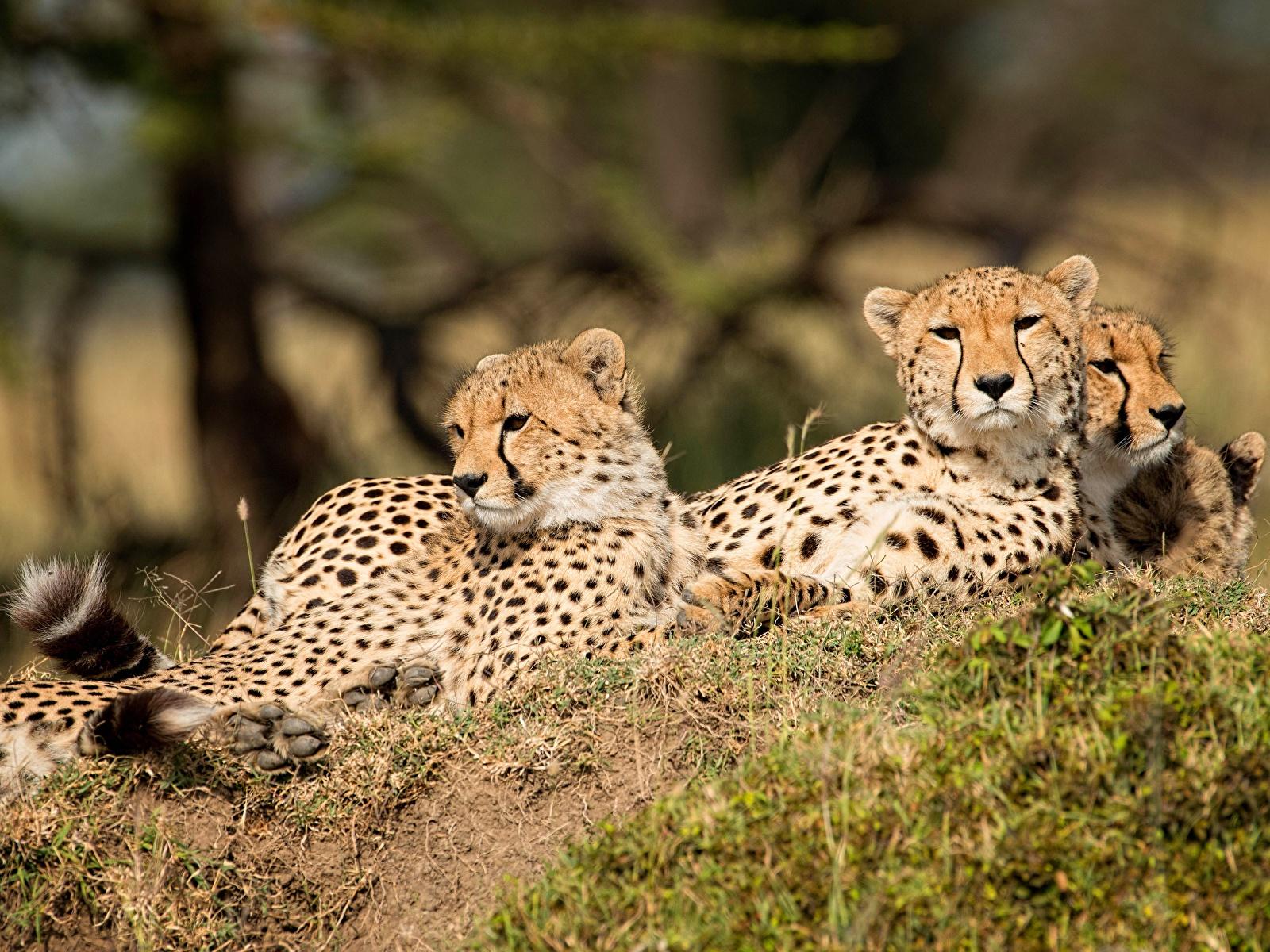 Фотографии Леопарды втроем животное 1600x1200 леопард три Трое 3 Животные
