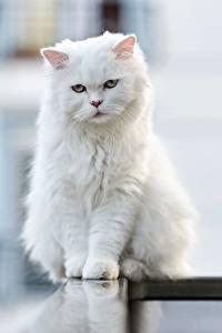 Картинки Кошка Размытый фон Сидящие Белая Взгляд Животные