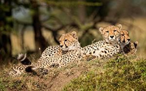 Фотографии Леопарды Втроем Животные