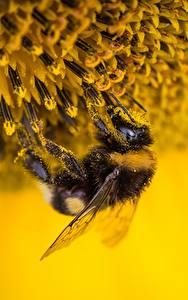 Обои Вблизи Насекомое Шмель Пыльца Животные