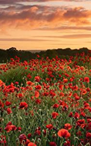Фотографии Поля Маки Много Рассветы и закаты цветок Природа