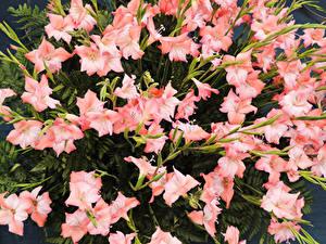 Обои Гладиолус Много Розовая Цветы