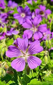 Фотографии Герань Крупным планом Много Фиолетовая цветок