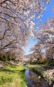 Обои Япония Токио Весна Парк Цветущие деревья Природа