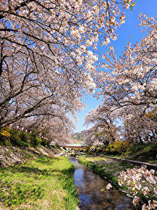 Обои Япония Токио Весна Парк Цветущие деревья