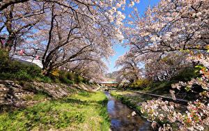 Обои Япония Токио Весна Парки Цветущие деревья