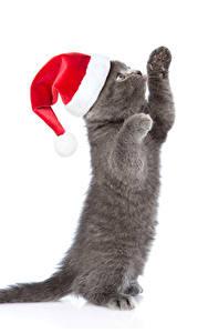 Фото Новый год Коты Белом фоне Котенка Шапка Лапы Серые