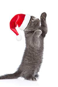 Фото Новый год Коты Белом фоне Котенка Шапка Лапы Серые Животные