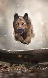 Обои Собаки Немецкая овчарка Бег Прыгает Животные