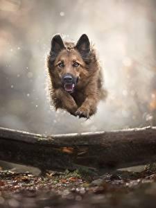 Обои Собаки Немецкая овчарка Бег Прыгает