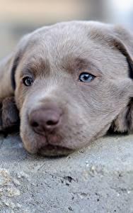 Картинка Собака Щенка Ретривер Морды Серый Голова Лабрадор-ретривер Животные