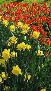 Фото Нидерланды Парки Нарциссы Тюльпаны Цветы