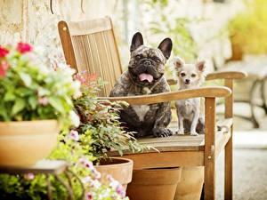 Фото Французский бульдог Собаки Чихуахуа Скамейка животное