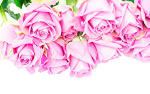 Фотография Розы Вблизи Белый фон Розовый
