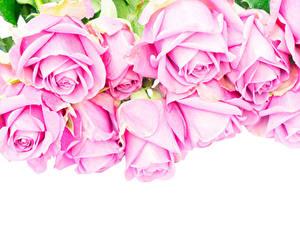 Фотография Розы Вблизи Белый фон Розовый Цветы